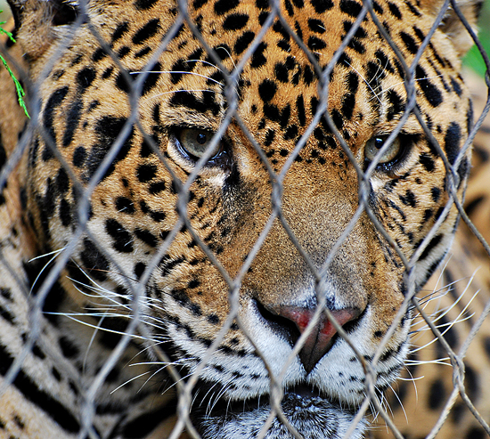 Here is a Texas Leopard I shot at the Fort Worth Zoo