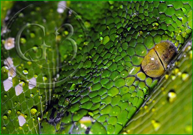 Aru - Green Tree Python